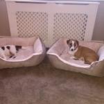 puppys in bed