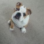 brittish bulldog puppy