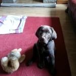 choc lab puppy