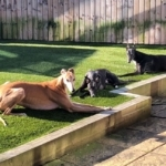 Greyhounds sunbathing
