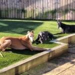Greyhounds sunbathing