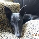 Greyhound relaxing